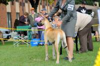 Highlight for album: Great Dane Club of Canada Regional Specialty